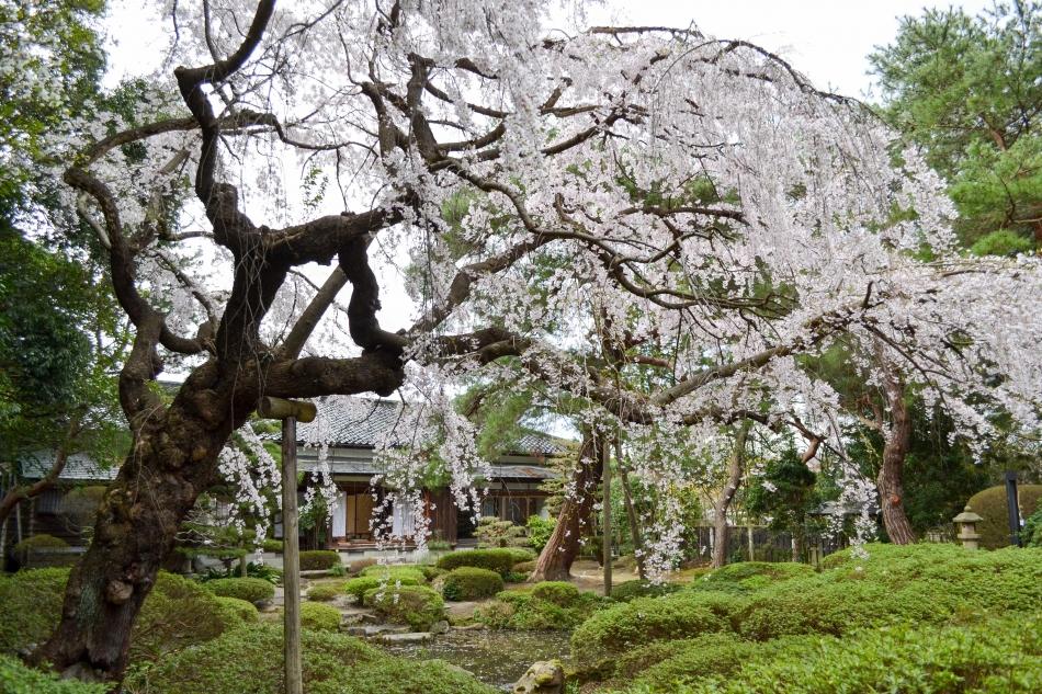 2017.4/18-19「出羽庄内の桜と食を巡る旅」ツアーレポート